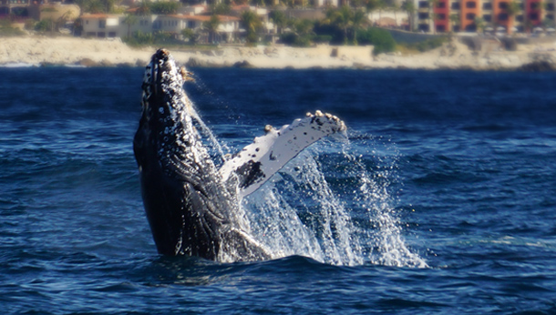 Whale Cabo San Lucas